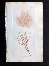 Sowerby 1846 Hand Col Seaweed Print. Calithamnion Pedicellatum 2468